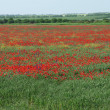 Landscape with field with red poppy flowers — Stock Photo
