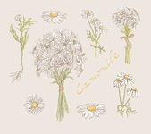 Camomile hand drawn set vector — Stock Vector