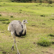 Uruguayan Land Bird Rhea — Stock Photo