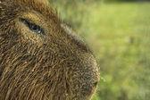 Uruguayan Wild Carpincho in Detail — Stock Photo