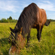 The horse on a golden meadow — Stock Photo