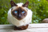 View Siamese Cat — Stock Photo