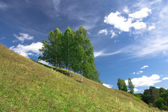 Birch trees growing on a hill — Stock Photo