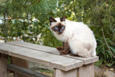 Siamese cat sits on a wooden bench — Stock Photo