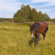 The horse is grazed on a golden meadow — Stock Photo