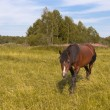 Stock Photo: The horse is grazed on a golden meadow