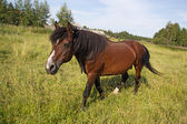 The horse is grazed on a golden meadow — Stockfoto
