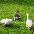 Geese graze in meadow — Stock Photo #19640215