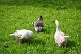 Geese graze in a meadow — Foto Stock