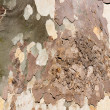 Sycamore tree bark background — Stock Photo