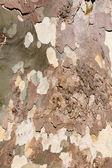 Sycamore tree bark background — Stock Photo