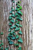 Grün efeu blätter auf baumrinde — Stockfoto