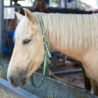Horse with blond hair in Stable — Stock Photo