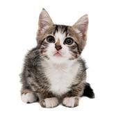 Üzgün bir yüz buruşturma ile gri çizgili kedicik — Stok fotoğraf