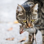 Cat holds the caught mouse — Stock Photo
