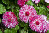 Magenta daisy flowers on green background — Stock Photo