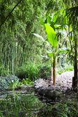 Banana plant on bank of pond — Stock Photo