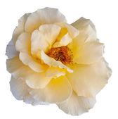 Beautiful yellow flower blooming rose — Stock Photo