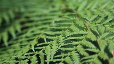 Fern background, shifting focus — Stock Video