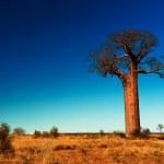 Baobab tree in Madagascar — Stock Photo #12149243