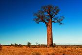 Baobab tree in Madagascar — Stock Photo