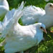 Beautiful white pigeons — Stock Photo