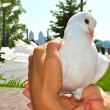 Beautiful white pigeon in the hands — Stock Photo