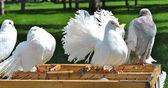Beaux pigeons blancs sur la cage — Photo