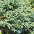 A fir-tree close — Stock Photo