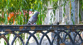 A pigeon on the fence — Stock Photo