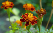 Marigold — Stock Photo