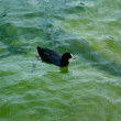 Duck swims in the water — Stock Photo #12631867