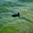 Duck swims in the water — Foto de Stock