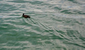 Duck swims in the lake — Stock Photo