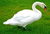 Beau cygne blanc des murs sur l'herbe et elle mange — Photo