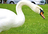 Beautiful white swan eats the grass — Stock Photo