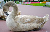 A swan cleans its feathers — Stock Photo