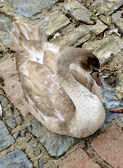 Beautiful swan lays on the stones — Stockfoto