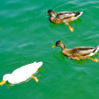 Stock Photo: 2 black and 1 white ducks in the river
