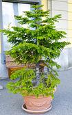 İsviçre pot bitki — Stok fotoğraf