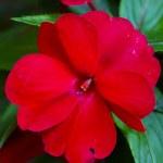 Red beautiful flowers in Gandria, Switzerland — Stock Photo
