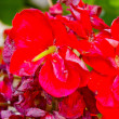 Red flowers of Gandria, the town on the mountain hill in Switzerland — Stock Photo #12735871