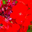 Stock Photo: Red flowers of Gandria, the town on the mountain hill in Switzerland