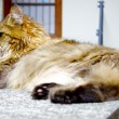 Big fat cat lays and relaxes — 图库照片
