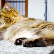 Big fat cat lays and relaxes — Stock Photo
