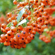Rowanberry — Stock Photo #13457542