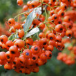 Stock Photo: Rowanberry