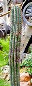 Gamla kaktus — Stockfoto