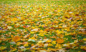 Fallen yellow leaves on the ground — Stock Photo