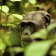 Gorilla in the green plants — Stock Photo